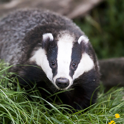badger in some grass