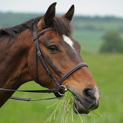 Close up of horse eating grass, wearing a bridle
