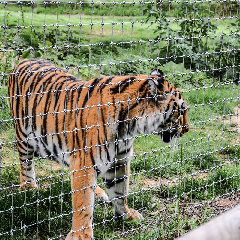 Tiger behind wire fence