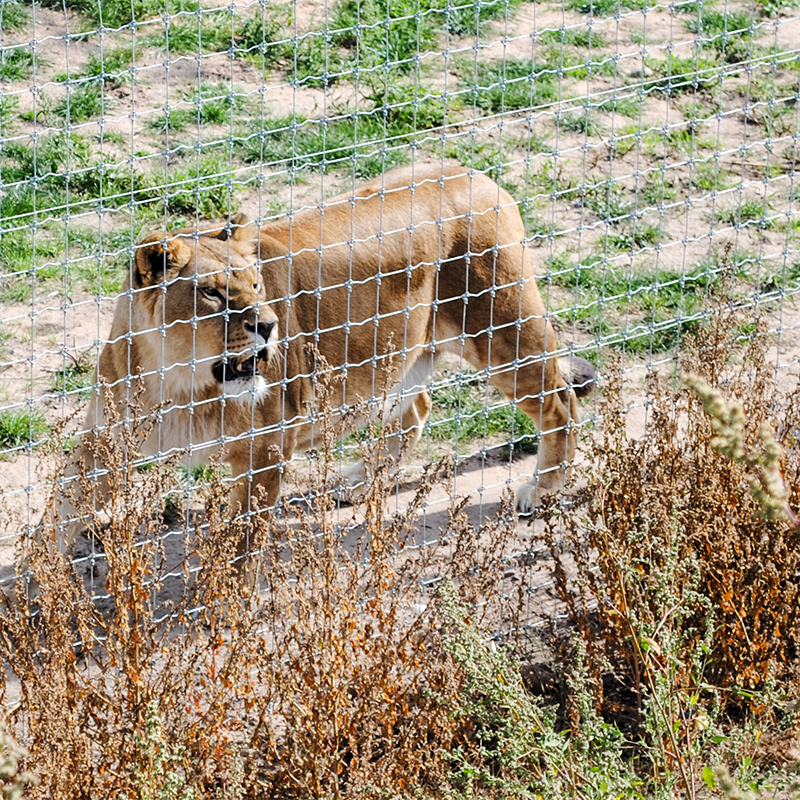 Female lion behind wire fence