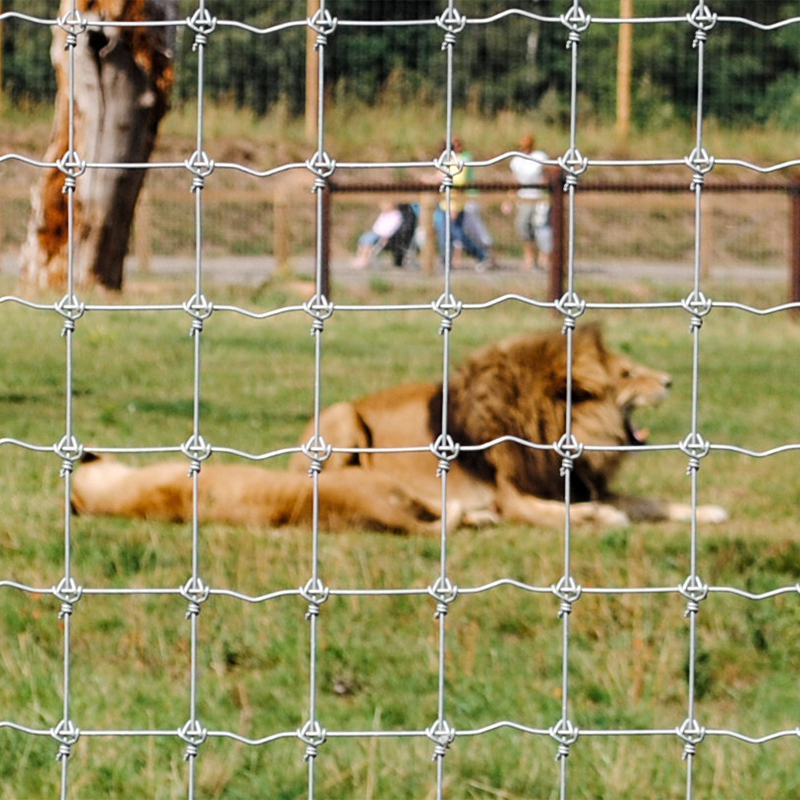Male and female lion behind wire fence