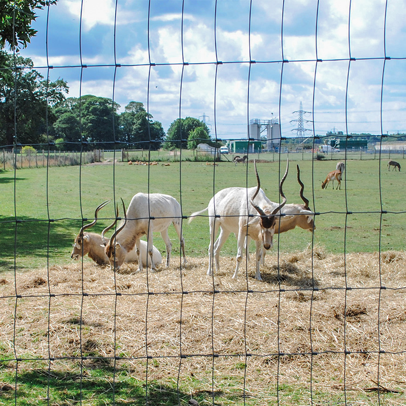 antelopes behind wire fence