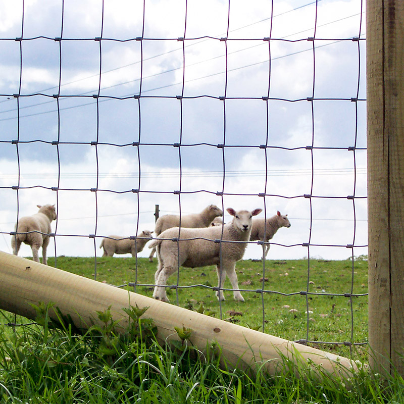 lambs behind wire fence