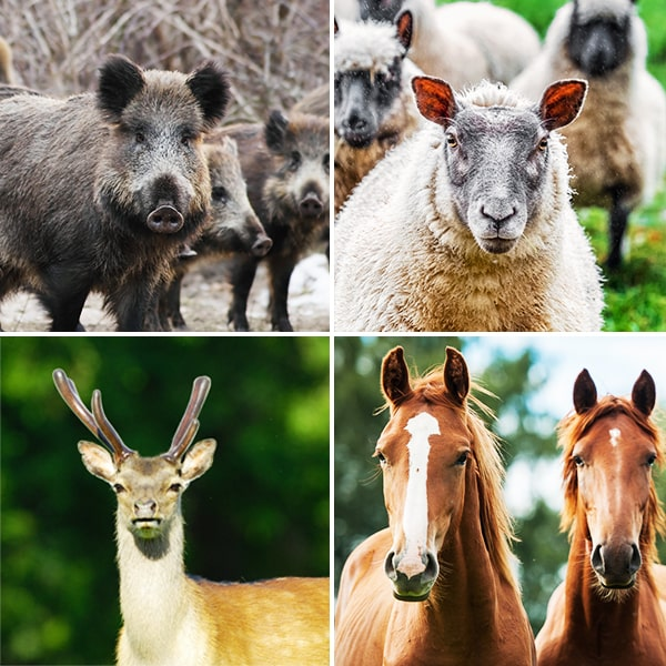 grid of wild boar, sheep, deer and horse photos