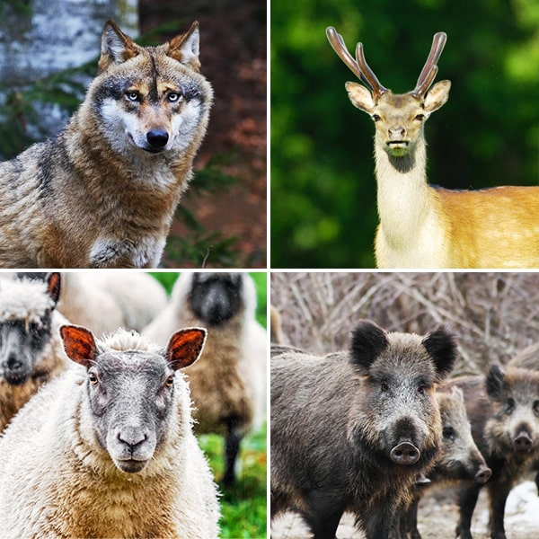 Grid of wolf, deer, sheep and wild boar photos