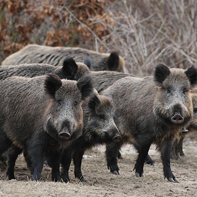 herd of wild boar