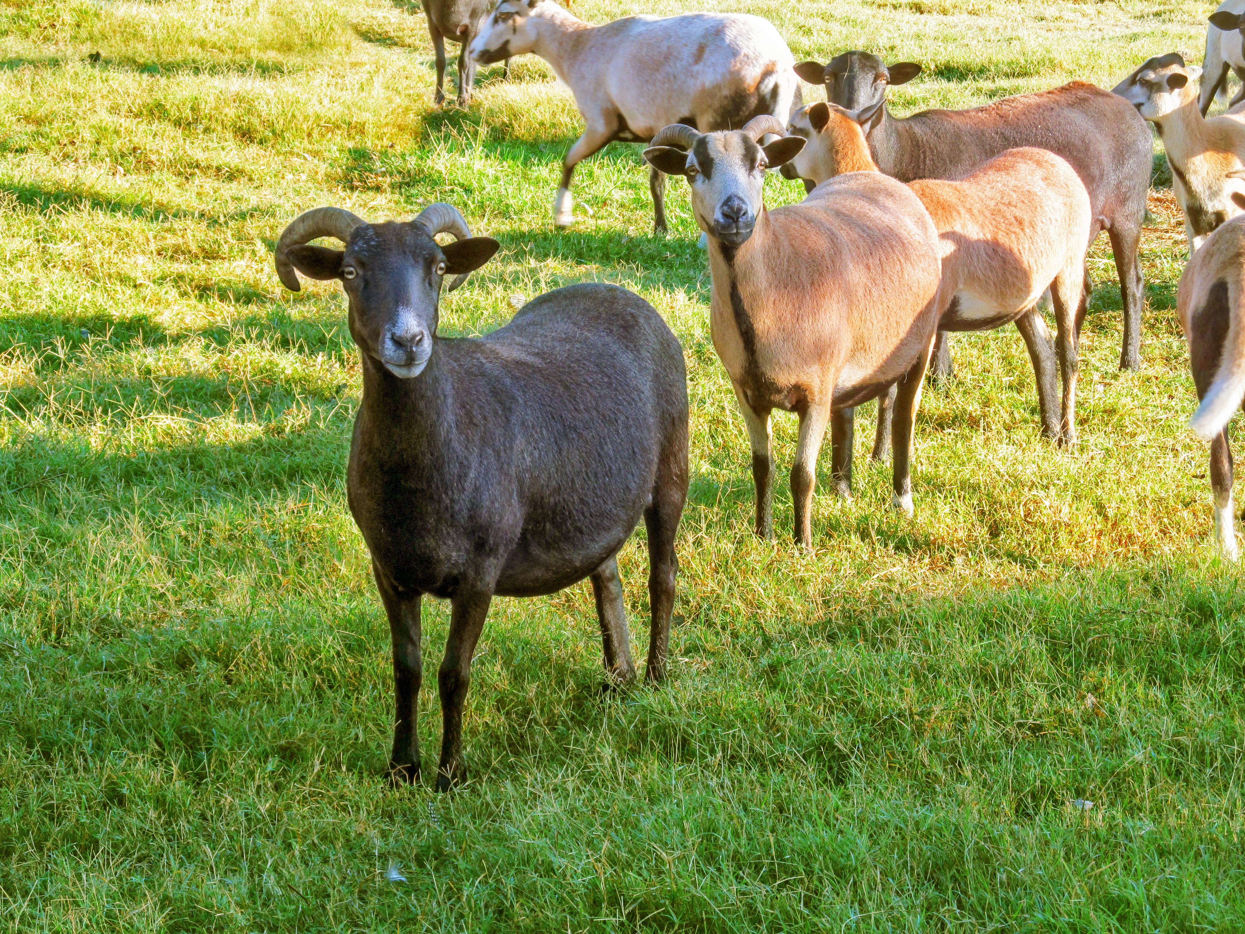 US Goats