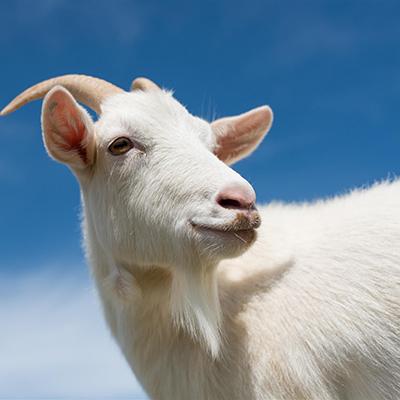 goat-fencing