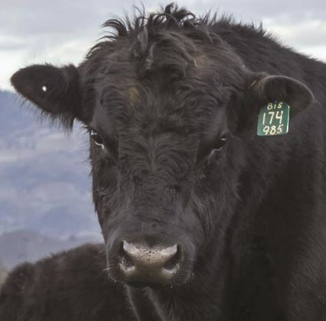 Cow Headshot for Field Fence USA