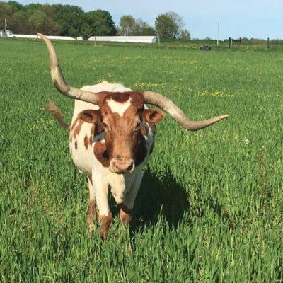 USA cow in field JPEG