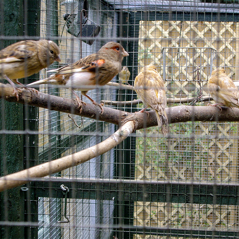 finches in an aviary