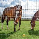 horse looking through torus fence