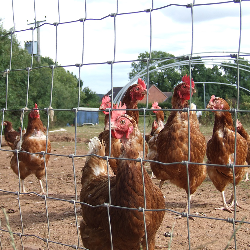 group of free range chickens behind hinge joint net