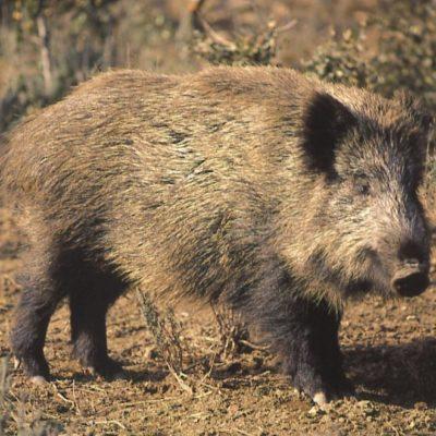 wiild boar