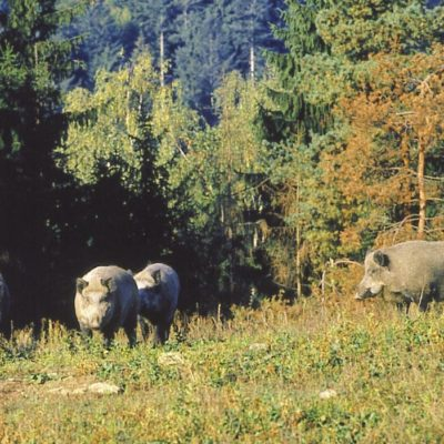 group of wild boar in a forest